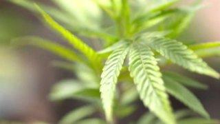 Incrementa consumo de marihuana en estudiantes1