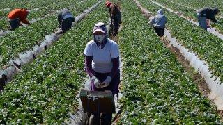 Farmworkers in Oxnard, California